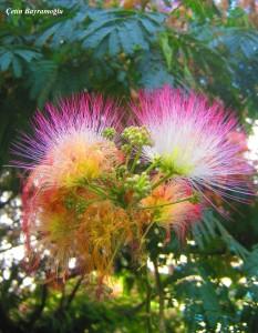gülibrişim ağacı çiçeği
